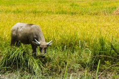 Il bufalo solo sta mangiando il vetro Fotografia Stock