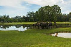 Il bufalo tailandese sta pascendo in un campo Fotografie Stock