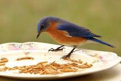 Il buffet dell'uccellino azzurro Immagine Stock