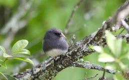 Il buio ha osservato l'uccello canoro del Junco sul ramo dell'alloro di montagna Immagine Stock