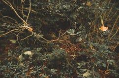 Il buio raro ha colorato i cespugli ed i rami che crescono da Immagine Stock