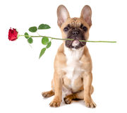 Il bulldog francese con è aumentato immagine stock libera da diritti