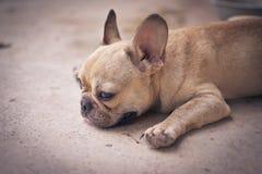 Il bulldog francese stava trovando sul pavimento per rilassarsi fotografia stock libera da diritti