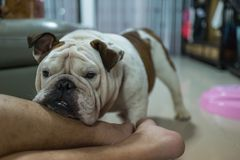 Il bulldog inglese ha messo la sua testa sulla gamba dell'uomo fotografia stock