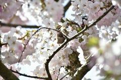 Il bushtit nel letto di fiore del fiore di ciliegia fotografie stock libere da diritti