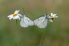 il butterflyrus di crataegi di Aporia di due farfalle si siede su un fiore della margherita fotografia stock