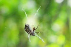 Il cacciatore del ragno Fotografia Stock Libera da Diritti
