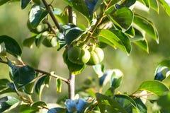 Il cachi anche chiamato di diospyros kaki è una frutta Immagine Stock