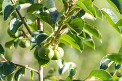 Il cachi anche chiamato di diospyros kaki è una frutta Immagini Stock Libere da Diritti