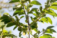 Il cachi anche chiamato di diospyros kaki è una frutta Fotografia Stock