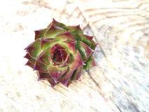 il cactus è aumentato Fotografie Stock Libere da Diritti