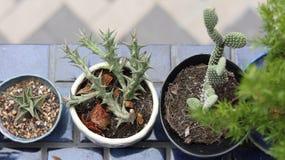 Il cactus è una piccola pianta cui è facile da preoccuparsi per fotografie stock
