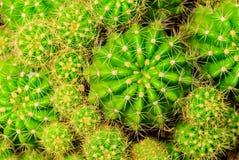Il cactus Fotografie Stock