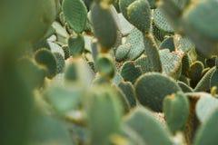 Il cactus che ha brillato fotografie stock