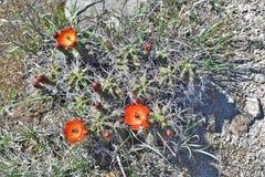 Il cactus con i fiori arancio si chiude su Fotografie Stock