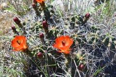 Il cactus con i fiori arancio si chiude su Immagini Stock Libere da Diritti