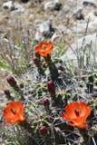 Il cactus con i fiori arancio si chiude su Fotografia Stock