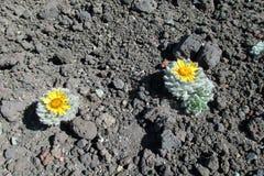 Il cactus con il fiore si sviluppa sulle pietre Fotografia Stock Libera da Diritti