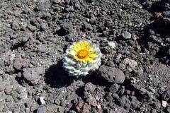 Il cactus con il fiore si sviluppa sulle pietre Fotografia Stock