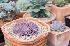 Il cactus dei succulenti nel giardino botanico del deserto per la decorazione e l'agricoltura progettano Immagine Stock Libera da Diritti