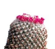 Il cactus di fioritura, pianta da appartamento, bianco, isolato Fotografia Stock Libera da Diritti