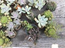 Il cactus di multipli Fotografia Stock Libera da Diritti