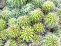 Il cactus dorato della sfera Fotografia Stock Libera da Diritti