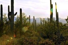 Il cactus e le montagne giganti scintillanti del saguaro si avvicinano al tramonto Fotografia Stock Libera da Diritti