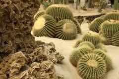 Il cactus ed il deserto sono aumentato Fotografie Stock Libere da Diritti