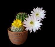 Il cactus fiorisce l'ibrido di echinopsis fotografia stock libera da diritti