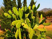 Il cactus, paesaggio in Tailandia Fotografia Stock Libera da Diritti
