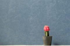 Il cactus rosso Fotografie Stock
