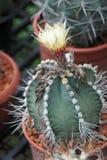 Il cactus spinoso, vede la bella difesa Fotografie Stock Libere da Diritti