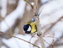Il caeruleus del Parus della cinciarella si è appollaiato su un albero gelido Immagine Stock Libera da Diritti