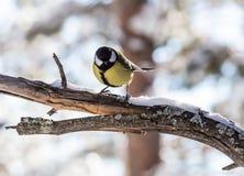 Il caeruleus del Parus della cinciarella si è appollaiato su un albero gelido Fotografia Stock Libera da Diritti
