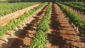 Il caffè dell'agricoltura dell'azienda agricola pianta la crescita industriale dell'alimento stock footage