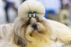 Il cagnolino maltese è un piccolo cane decorativo con un bello cappotto fotografia stock