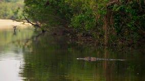 Il caimano dagli occhiali, caiman crocodilus, anche conosciuto come il caimano bianco o il caimano comune fotografia stock