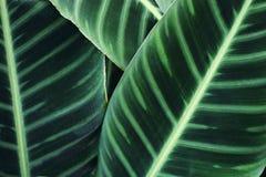 Il calathea verde lascia il fondo Immagine Stock Libera da Diritti