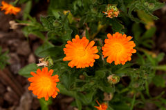 Il Calendula fiorisce (Calendula Officinalis) fotografie stock libere da diritti