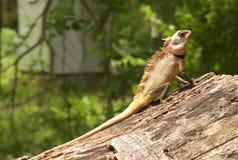 Il camaleonte immagini stock libere da diritti