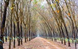 Il cambiamento di gomma di stagione del percorso va con la strada non asfaltata dell'allineamento degli alberi che conduce in giù Fotografia Stock Libera da Diritti