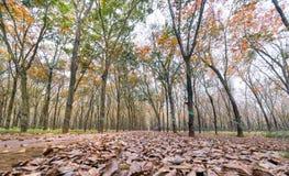 Il cambiamento di gomma di stagione del percorso va con la strada non asfaltata dell'allineamento degli alberi che conduce in giù Fotografie Stock
