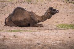 Il cammello è marcio nel deserto e rugge intorno Immagini Stock Libere da Diritti
