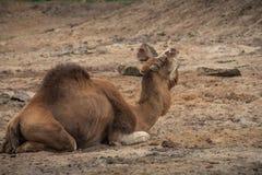 Il cammello è marcio nel deserto e rugge intorno Immagine Stock Libera da Diritti