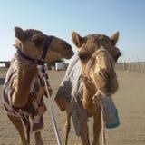 Il cammello è un grande animale Fotografie Stock Libere da Diritti