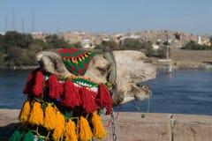 Il cammello arabo con gli accessori guarda a Assuan Egitto fotografie stock libere da diritti