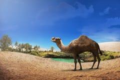 Il cammello che cammina sul deserto Fotografia Stock