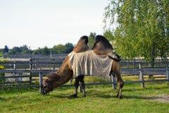 Il cammello mangia l'erba Fotografia Stock Libera da Diritti