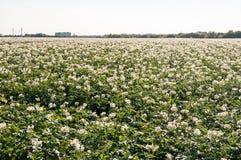 Il campo con una patata spara il primo piano Immagini Stock Libere da Diritti